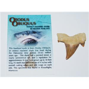"OTODUS Shark Tooth Fossil 1 1/4 to 1 1/2 inches ""B"" 60 Million Yrs Old"