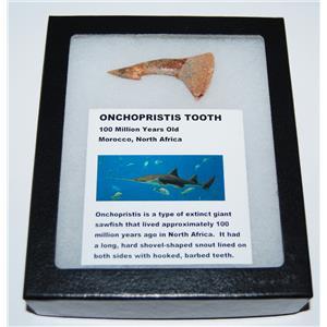 Onchopristis Tooth Fossil 100 Mil Yr Old 2.261 inch w/ Display Box LDB 13415 14o