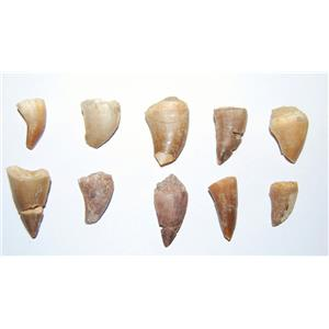 Mosasaur Dinosaur Tooth  LOT OF 10 Pieces Fossils Teeth 85 Mill Yr Old #10605 5o