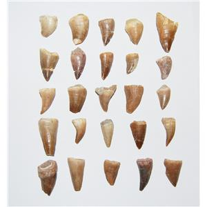 Mosasaur Dinosaur Tooth  LOT OF 25 Pieces Fossils Teeth 85 Mill Yr Old #10586 6o