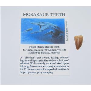 Mosasaur Dinosaur Tooth Fossil 1/2 inch Size Extra Small w/COA #12638 2o