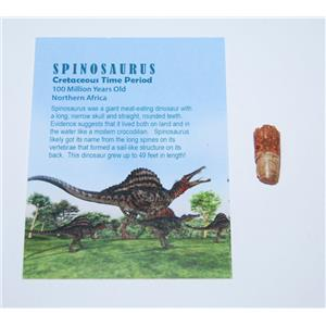 Spinosaurus Dinosaur Tooth Fossil 1/2 to 1 inch Size Small w/COA #12639 4o
