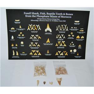 Shark Teeth Fossil ULTIMATE KIT 45-70 Mil Yr Old w/ ID POSTER #12835 11o