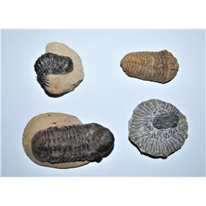 TRILOBITE REAL Fossils Collector Lot of 4 Different Species #12855 20o