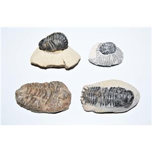 TRILOBITE REAL Fossils Collector Lot of 4 Different Species #12861 20o
