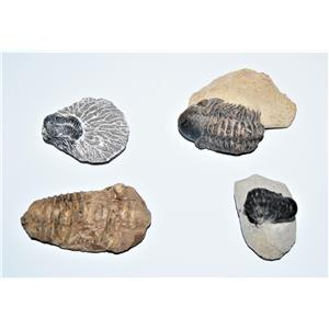 TRILOBITE REAL Fossils Collector Lot of 4 Different Species #12862 20o