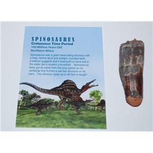 SPINOSAURUS Dinosaur Tooth Fossil 2.467 inch w/ Info Card  #2995