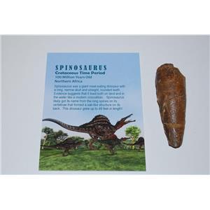 SPINOSAURUS Dinosaur Tooth Fossil 2.583 inch w/ Info Card  #2996