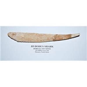HYBODUS Shark Dorsal Fin Spine Real Fossil 8.25 inch #13035 10o