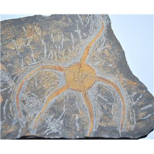 Brittle Star Fossil 450 Million Years Old Morocco #13040 2# 12o