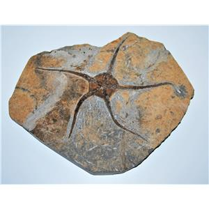 Brittle Star Fossil 450 Million Years Old Morocco #13041 2# 14o