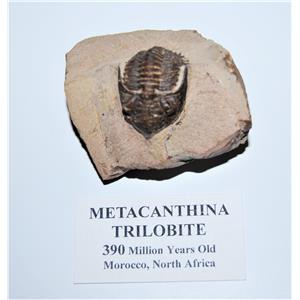 TRILOBITE Metacanthina Fossil Morocco 390 Million Years old #13059 14o