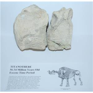 Titanothere Brontothere Vertebrae Lot of 2 Fossil 50 Million Year Old #3184 3#11o