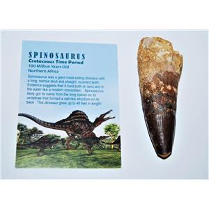 SPINOSAURUS Dinosaur Tooth Fossil 3.292 inch w/ Info Card #13136 8o