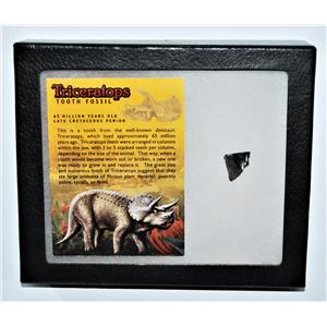 TRICERATOPS Dinosaur Fossil Tooth w/ Display Box LDB w/ COA #13269 14o