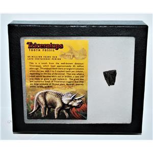 TRICERATOPS Dinosaur Fossil Tooth w/ Display Box LDB w/ COA #13272 14o