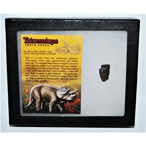 TRICERATOPS Dinosaur Fossil Tooth w/ Display Box LDB w/ COA #13274 14o