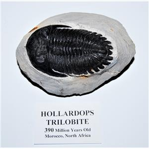 Hollardops TRILOBITE Fossil 390 Million Years old #13305 21o