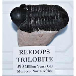 Reedops TRILOBITE Fossil Morocco 390 Million Years old #13331 13o