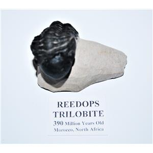 Reedops TRILOBITE Fossil Morocco 390 Million Years old #13333 16o