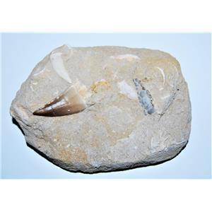 Genuine Fossils in Matrix including Mosasaur Tooth Dinosaur #13360 31o