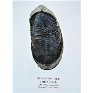 Odontochile TRILOBITE Fossil Morocco 400 Million Years old #13586 33o