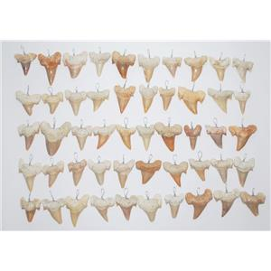 OTODUS Shark Tooth Pendants LOT OF 50 Real Fossils 1 1/4 inch Size #13808 24o