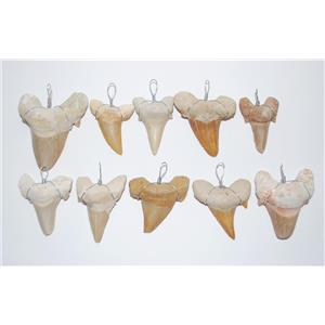 OTODUS Shark Tooth Pendants LOT OF 10 Real Fossils 1 1/4 inch Size #13688 8o