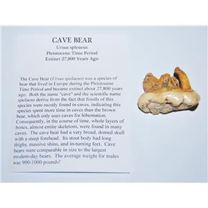 CAVE BEAR Tooth Fossil Pleistocene Extinct Cavebear #13713 4o