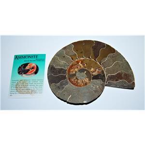 AMMONITE Fossil Polished 6 1/2 inches Madagascar #13767