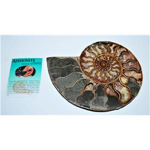 AMMONITE Fossil Polished 7 3/4 inches Madagascar #13783 35o