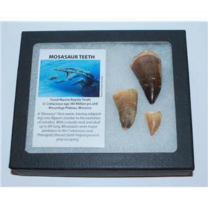 MOSASAUR Tooth Fossils (3 Teeth) Dinosaur Age w/ Display Box LDB & COA #22