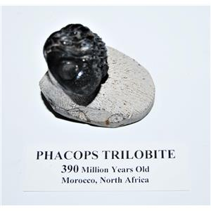 Phacops TRILOBITE Fossil Morocco 390 Million Years old #13814 10o
