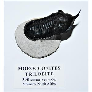 Morocconites TRILOBITE Fossil Morocco 390 Million Years old #13826 13o