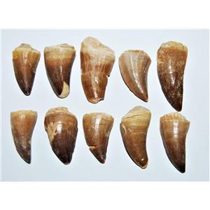Mosasaur Tooth Fossils LOT OF 10 (M) 1-1 1/2 Inch Dinosaur Age Teeth 6o