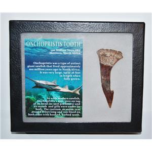Onchopristis Tooth Fossil 100 Mil Yr Old 2.831 inch w/ Display Box LDB 14004 8o