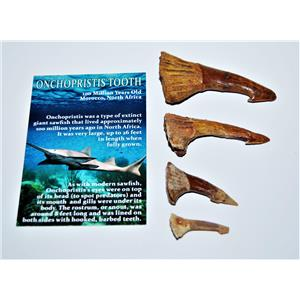 Onchopristis Sawfish Tooth Fossil Lot of 4 Teeth-100 Million Years Old #14021 5o