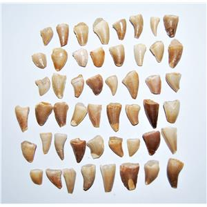 MOSASAUR Dinosaur Tooth Fossil 1/2 inch Size x-small lot of 50 #14048 4o