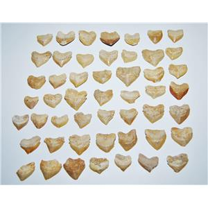 SQUALICORAX Shark Tooth Fossil 1/2 inch size - Lot of 50 - #14051 4o