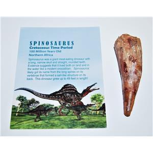 Spinosaurus Dinosaur Tooth Fossil 3 inch Size #14057 4o