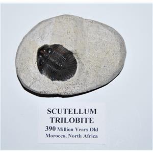 Scutellum Trilobite Fossil Morocco 390 MYO #14064 8o
