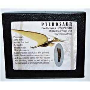 PTEROSAUR Dinosaur Tooth Fossil .712 inch 100 MYO w/ Display Box SDB #14111 11o