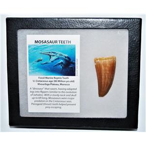MOSASAUR Large Tooth Fossil Dinosaur 1.966 inch w/ Display Box & COA #14127 15o