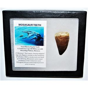 MOSASAUR Large Tooth Fossil Dinosaur 1.886 inch w/ Display Box & COA #14135 15o
