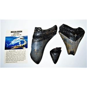 MEGALODON TEETH  Lot of 3 Fossils w/ 3 Info Cards Huge SHARK #14219 13o