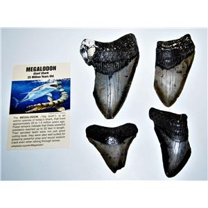 MEGALODON TEETH  Lot of 4 Fossils w/ 4 Info Cards Huge SHARK #14222 12o