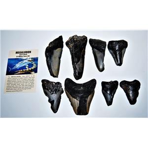 MEGALODON TEETH  Lot of 8 Fossils w/ 8 Info Cards Huge SHARK #14223 16o