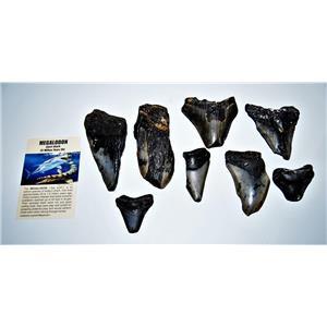 MEGALODON TEETH  Lot of 8 Fossils w/ 8 Info Cards Huge SHARK #14225 19o