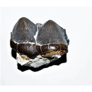 Titanothere Brontothere Large Tooth Fossil 50 Million Years Old #14268 6o
