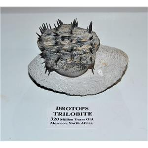 Drotops Spiny TRILOBITE Fossil Morocco 390 Mill Years old #14375 37o